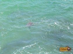 tartaruga-na-praia-do-cedro-ubatuba-sp