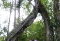 Árvore do amor - Senges -PR - Vale do Itararé