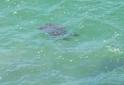 tartaruga-marinha-na-praia-do-cedro-ubatuba-sp